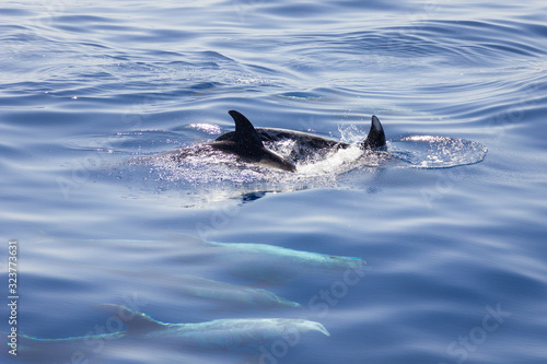 Fotografie, Obraz Group of pilot whales showing fins over water and others underwater