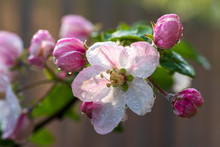 Pink Apple Flowers And Buds Wi...