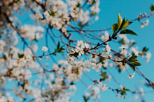 Branch Of A Blossoming White A...