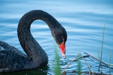 Black Swan Drinking Water In The Pond