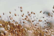 Bunny Tails Grass On Vintage Style; Natura Background
