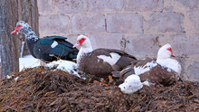 Muscovy Ducks Sit On Pile Of M...