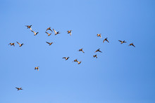 Wild Duck Flock Flying