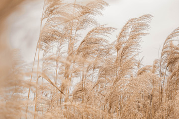 Naklejka Do sypialni Pampas grass outdoor in light pastel colors. Dry reeds boho style