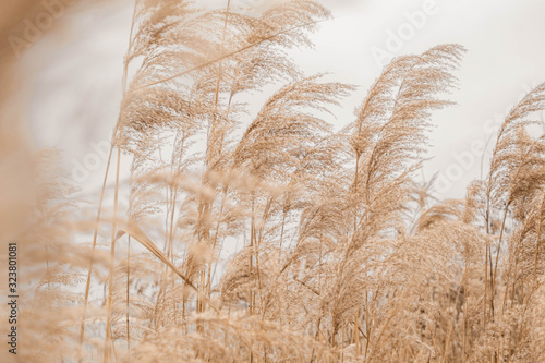 Pampas grass outdoor in light pastel colors Wallpaper Mural