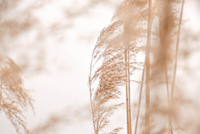 Pampas Grass Outdoor In Light ...