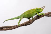Jackson's Chameleon / Dreihorn...