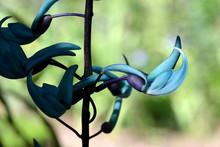 Closeup Of Jade Vine In Bloom