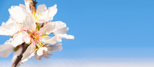 Spring Banner Background Of Pink Almond Blossoms With Blue Sky Background. Flower Concept. Blossom Concept