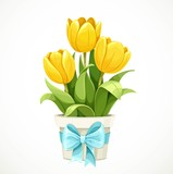 Fototapeta Tulips - Yellow tulip flowers growing in white pot with a blue bow isolated on white background