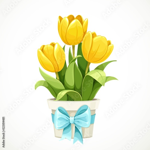 Yellow tulip flowers growing in white pot with a blue bow isolated on white background #323814481