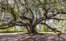 Old Oak Tree Covered In Spanish Moss