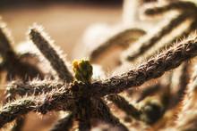 Cactus: Cane Cholla