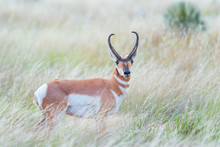 Male Pronghorn Grazes On The Texas Blackland Prairies.Texas.USA