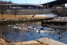 Flocks Of Canada Geese At Heri...