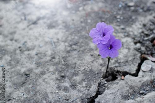 Fototapeta  Purple  flower on crack street background. obraz