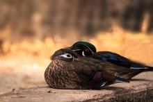 Sleeping Pair Of Wood Duck Aix...