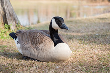 Canada Goose By Pond Winter Po...