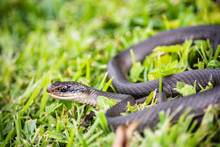 Black Racer Snake In The Grass, Ready To Strike.