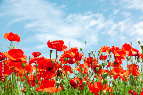 Red poppy flowers on sunny blue sky, poppies spring blossom, green meadow with flowers - 323849414