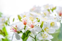 Beautiful White Tung Flower Bl...