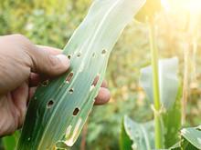 Corn Leaves That Appear Full O...
