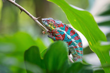 Panther Chameleon - Furcifer P...