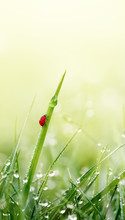 Green Grass With Ladybug And Dew Droplets On Meadow Field In Morning Light. Spring Nature Vertical Background. Close-up, Macro.