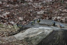 Titmouse Group Fighting For Food