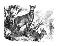 Musk Deer / Antique Engraved Illustration From Brockhaus Konversations-Lexikon 1908
