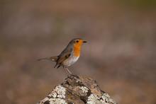 European Robin Bird On A Rock ...