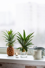 Top Of Pineapple In Glass Of Water  On Windowsill. Growing Pineapple At Home. Gardening Concept.