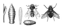 Fly Collection Antique Engrave...