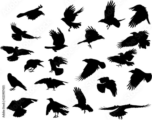 Photo group of twenty one crow black silhouettes on white