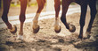 The legs of two strong racehorses galloping across the sandy arena, their unshod hooves kicking up dust, lit in the sunlight.