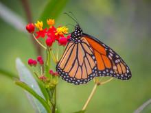 Monarch Butterfly,Danaus Plexi...