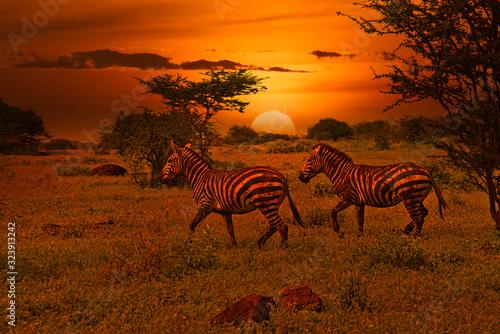 Fototapety, obrazy: Zebas und Sonnenuntergang im Nationalpark Tsavo Ost und Tsavo West in Kenia