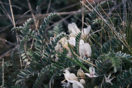 Photo Astragalus