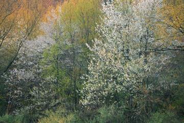 Panel Szklany Podświetlane Las Foggy spring landscape of forest in bloom, Michigan, USA
