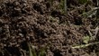 Anthill with working ants going in and out from their home on a sunny day. Close up with macro lens. Antbird. Nest.
