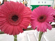 Beautiful Twins Gerbera Flowers