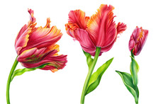 Set Of Colorful Tulips On Isol...