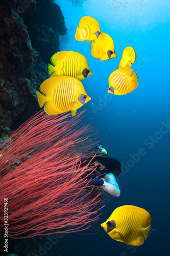 Underwater image of coral reef with diver and school of Masked Butterfly Fish.