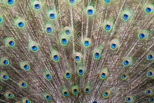 Closeup Of Indian Peacock Tail Feathers.