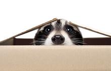 Funny Raccoon Peeking Out Of T...