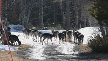 A Large Herd Of Fallow Deer Is...