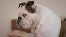 Disapproving Grumpy Dog Portrait