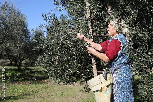 Photo Anziana contadina abruzzese sulla scala che raccoglie le olive