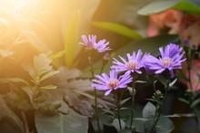 Aromatic Aster Flowers, New En...