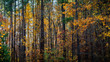Beautiful autumn forest with a mix of green and golden foliage